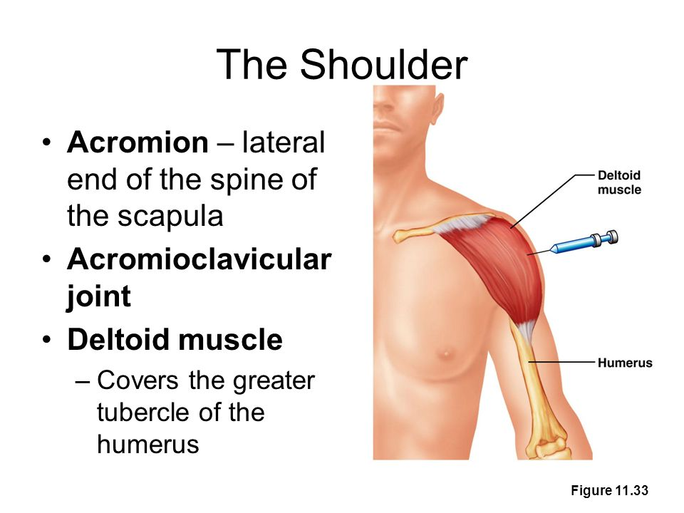 The Shoulder Acromion – lateral end of the spine of the scapula