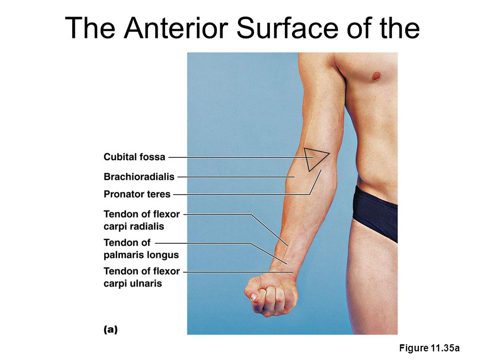 The Anterior Surface of the Forearm and Fist