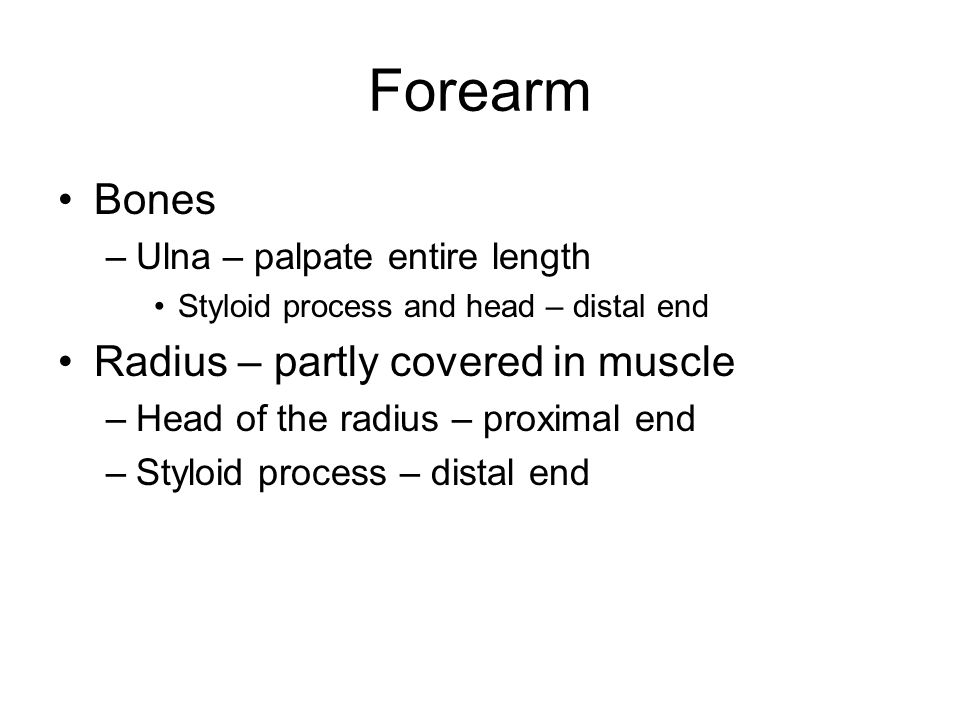 Forearm Bones Radius – partly covered in muscle