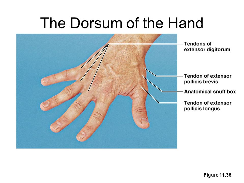 The Dorsum of the Hand Figure 11.36