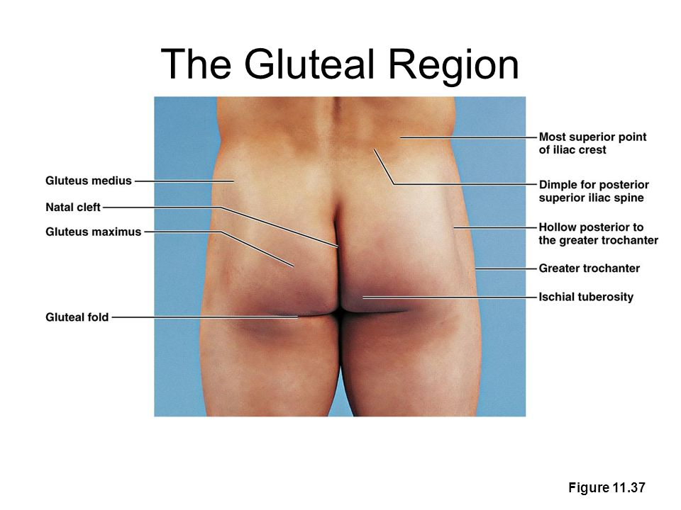 The Gluteal Region Figure 11.37