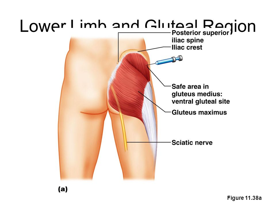 Lower Limb and Gluteal Region