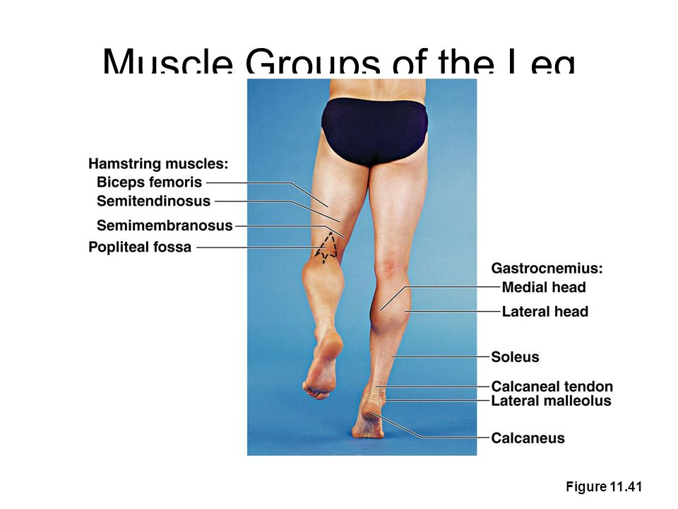 Muscle Groups of the Leg