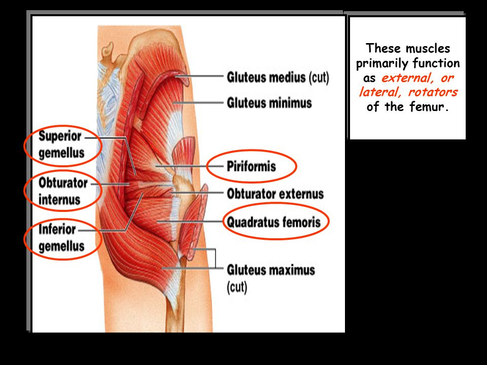 These muscles primarily function as external, or lateral, rotators of the femur.