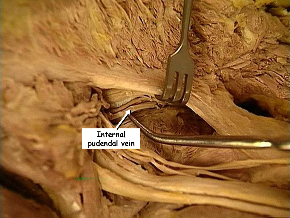 Internal pudendal vein
