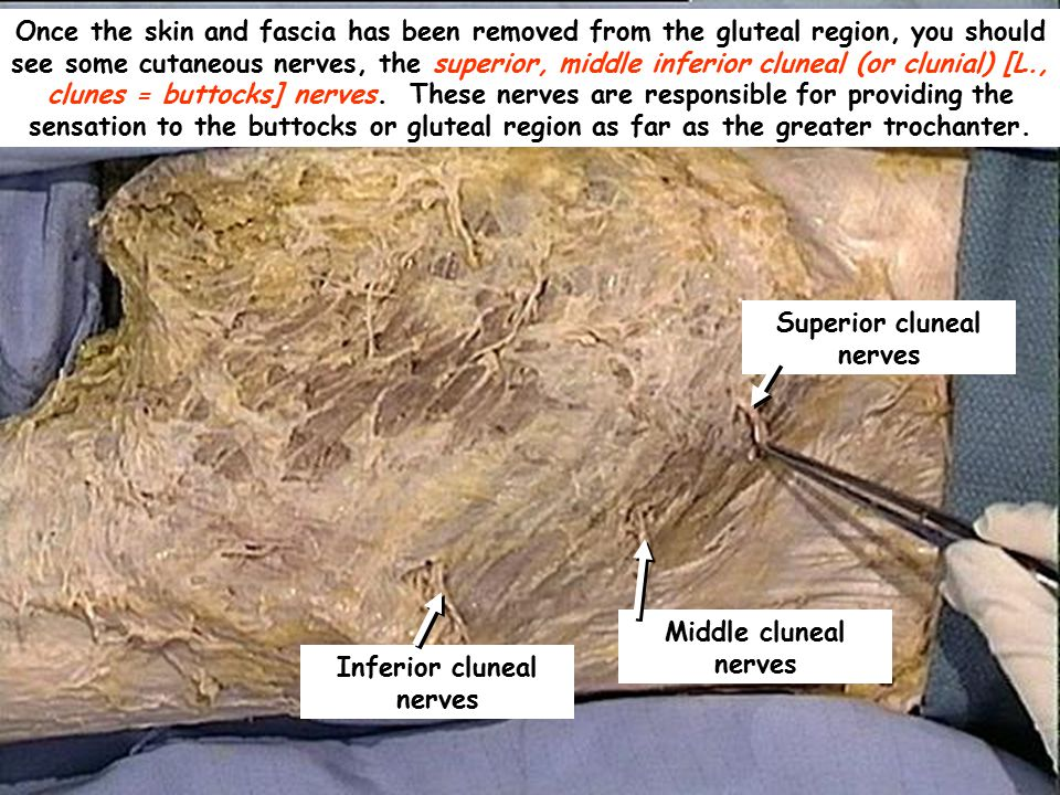 Superior cluneal nerves Inferior cluneal nerves