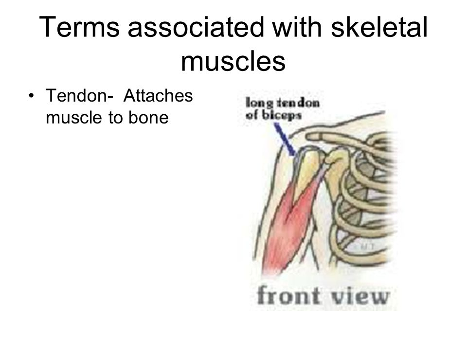 Terms associated with skeletal muscles