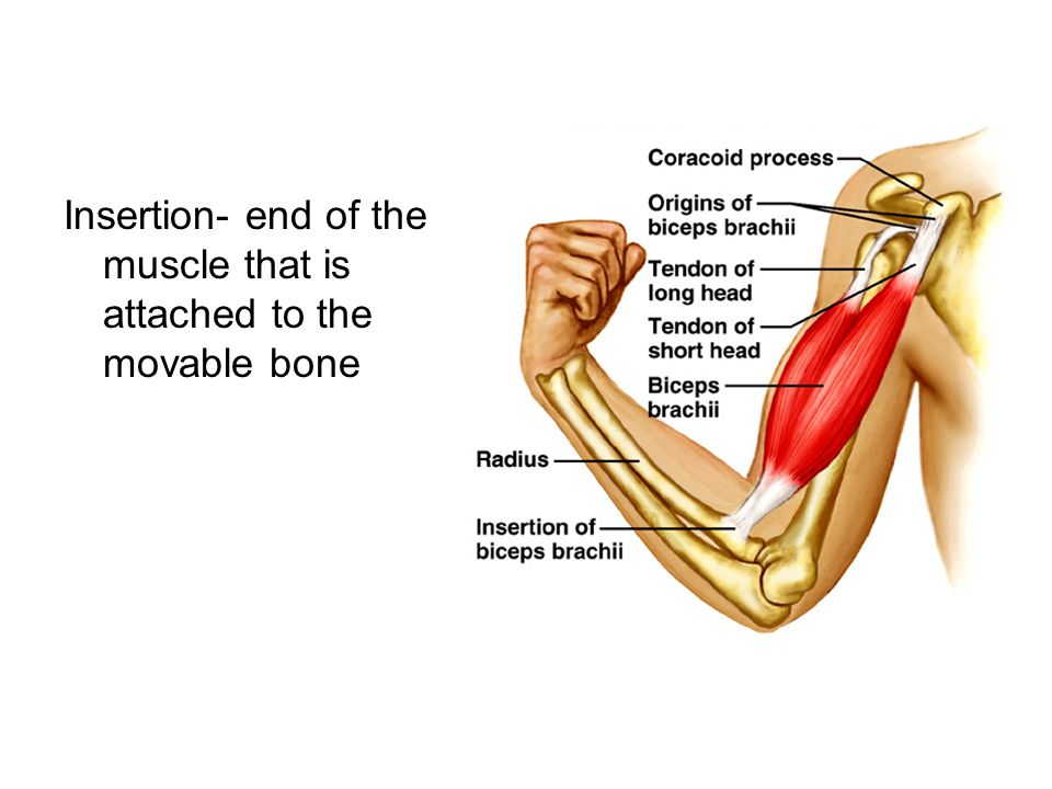 Insertion- end of the muscle that is attached to the movable bone