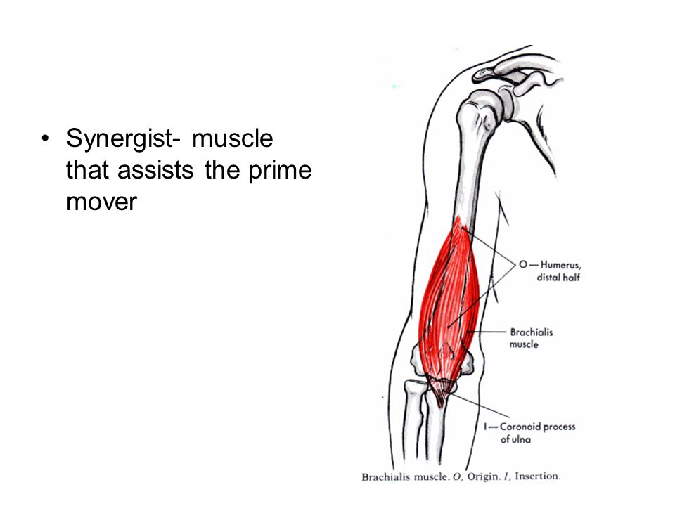 Synergist- muscle that assists the prime mover