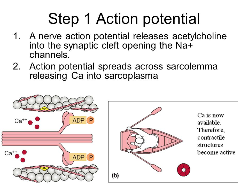Step 1 Action potential A nerve action potential releases acetylcholine into the synaptic cleft opening the Na+ channels.