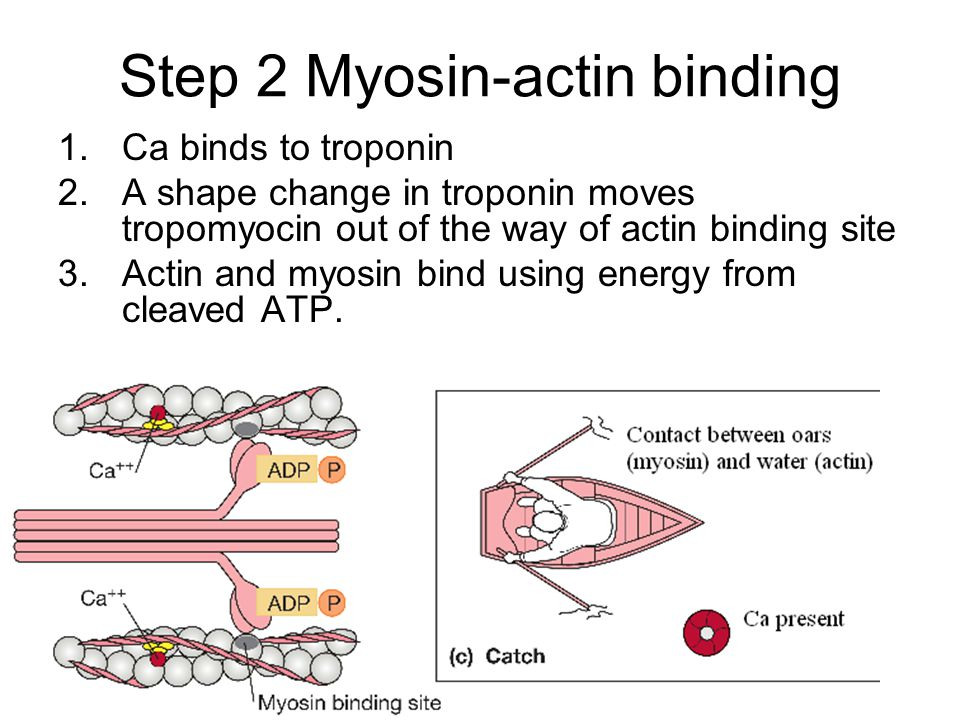 Step 2 Myosin-actin binding