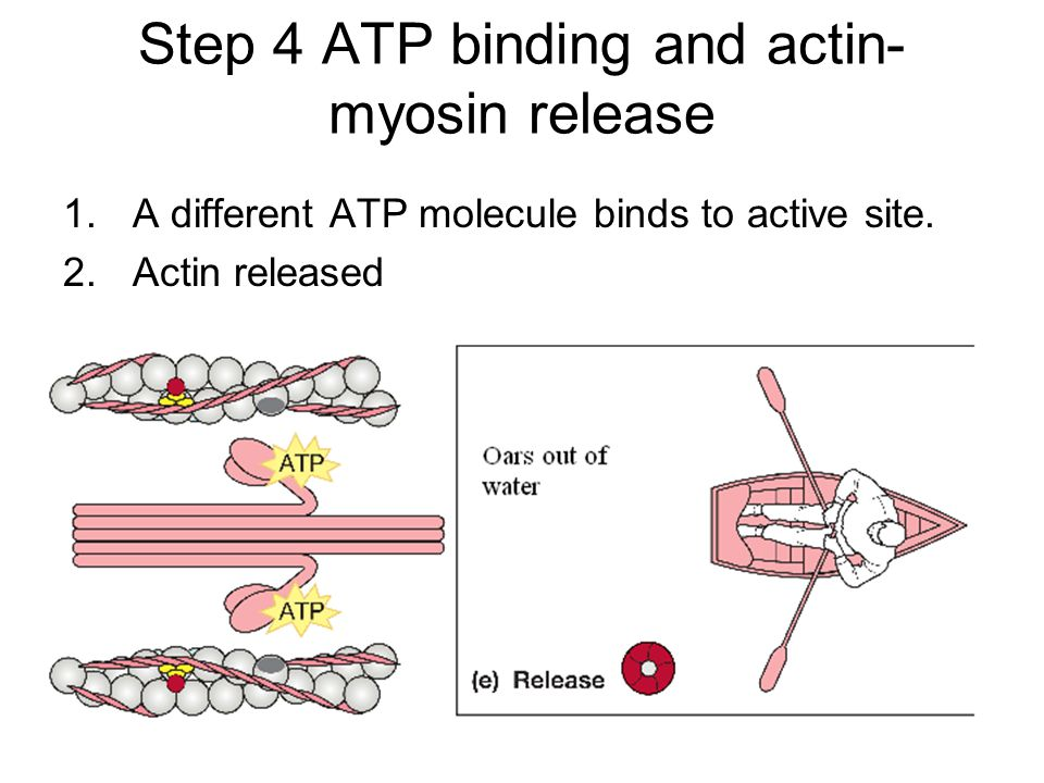 Step 4 ATP binding and actin-myosin release