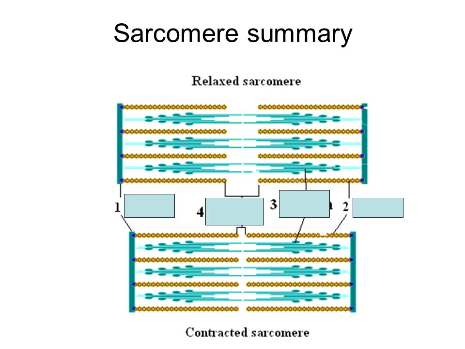 Sarcomere summary