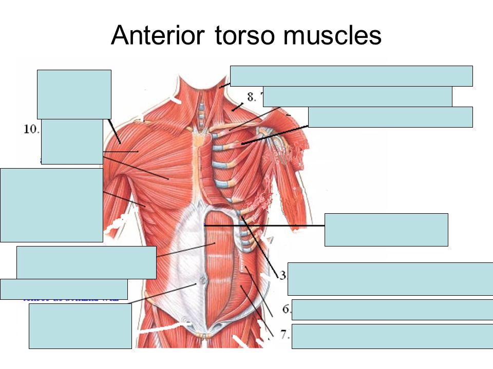 Anterior torso muscles