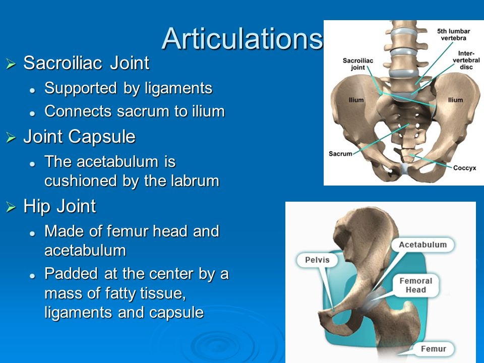 Articulations Sacroiliac Joint Joint Capsule Hip Joint