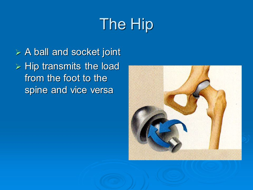 The Hip A ball and socket joint