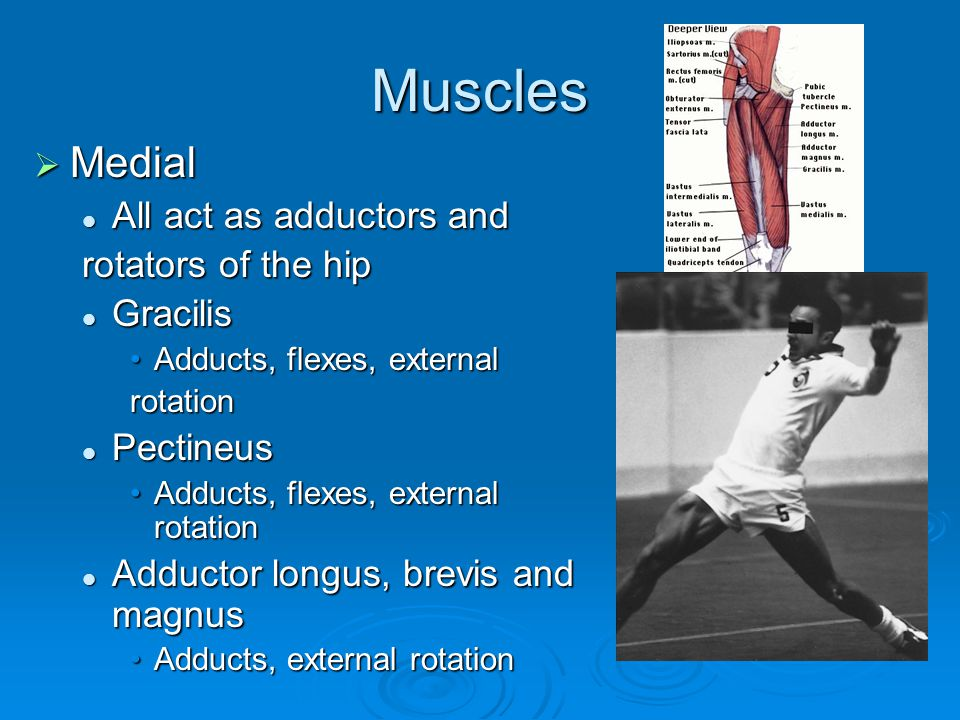 Muscles Medial All act as adductors and rotators of the hip Gracilis
