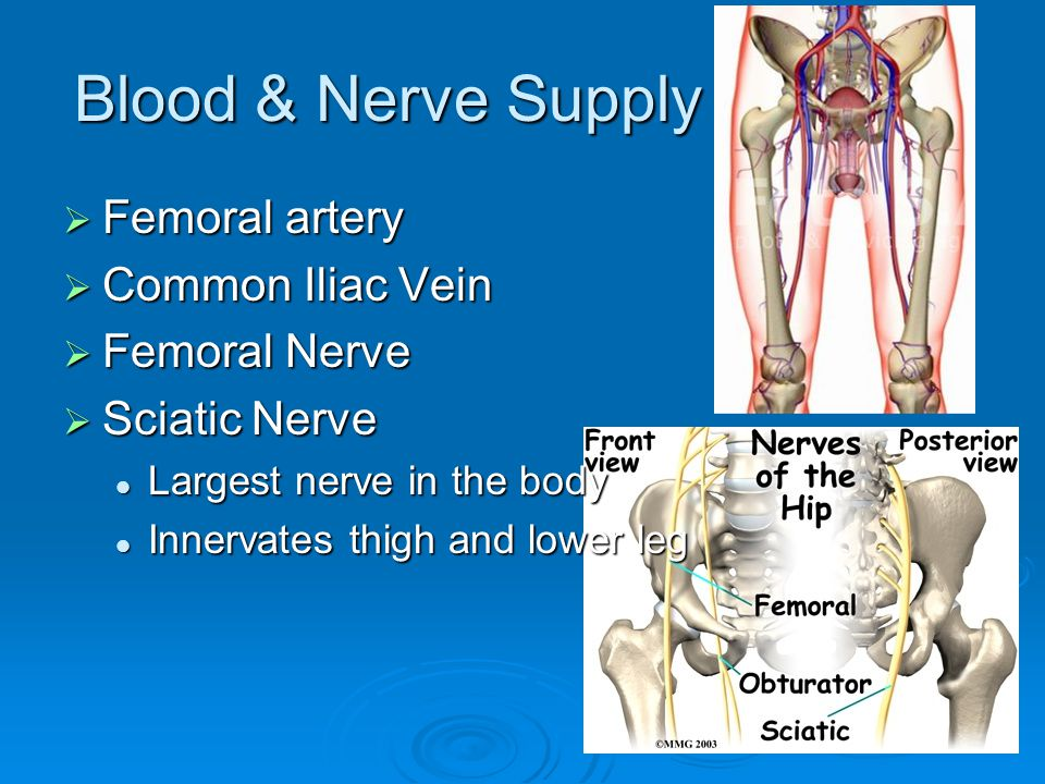 Blood & Nerve Supply Femoral artery Common Iliac Vein Femoral Nerve