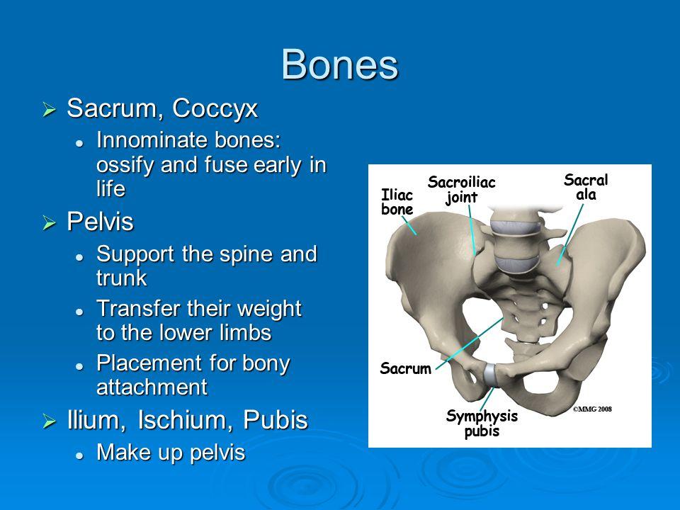 Bones Sacrum, Coccyx Pelvis Ilium, Ischium, Pubis