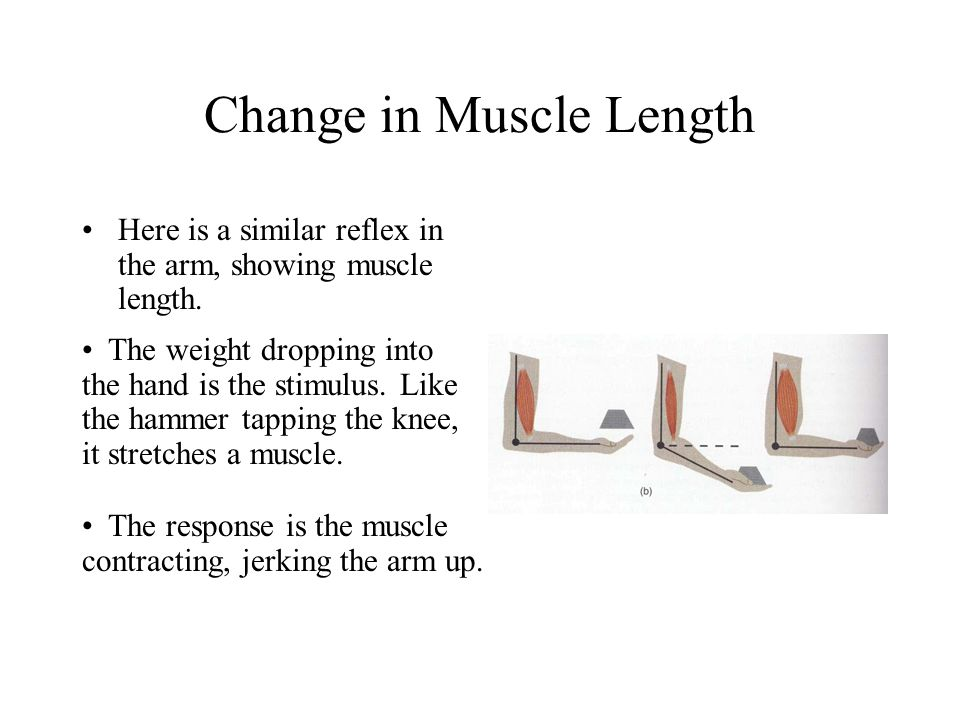 Change in Muscle Length