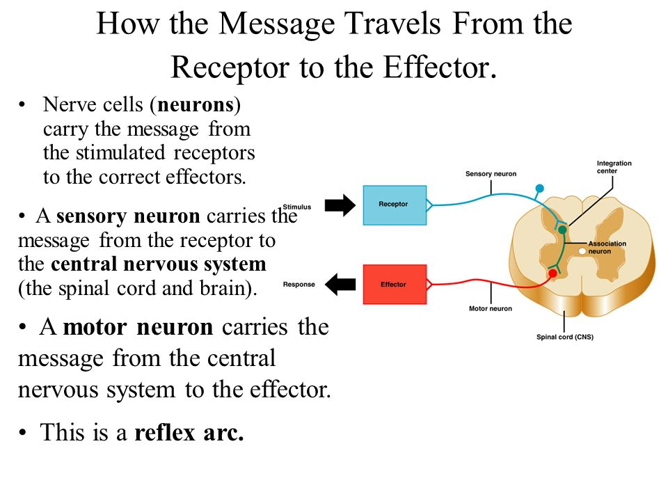 How the Message Travels From the Receptor to the Effector.