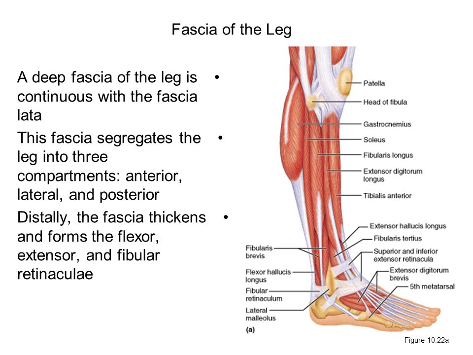 A deep fascia of the leg is continuous with the fascia lata