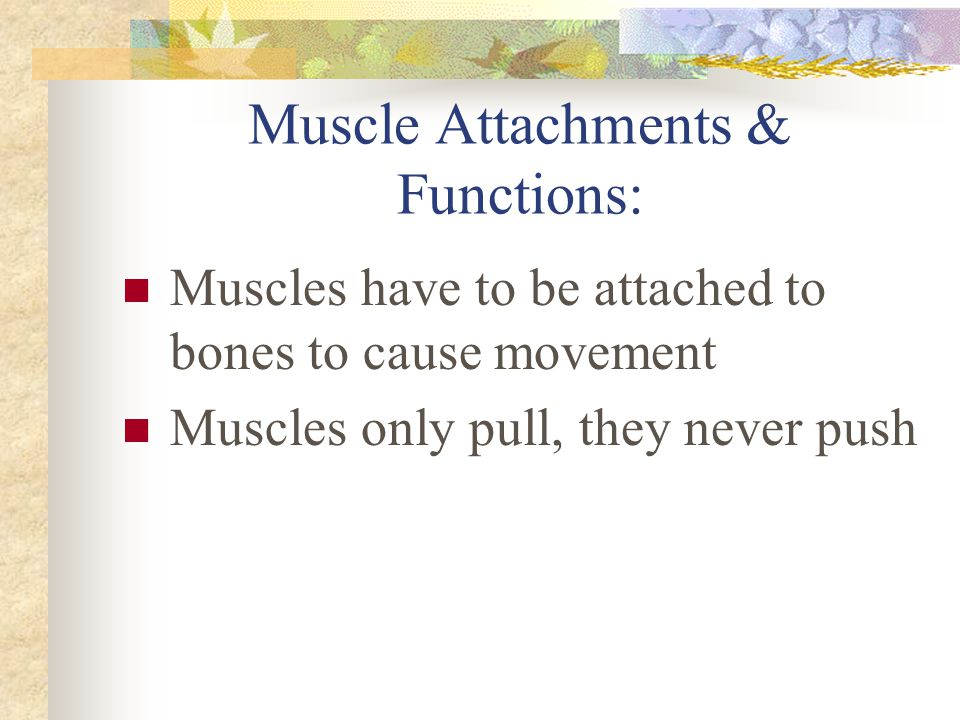 Muscle Attachments & Functions: