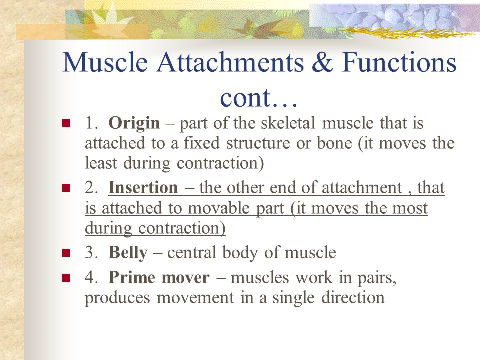 Muscle Attachments & Functions cont…