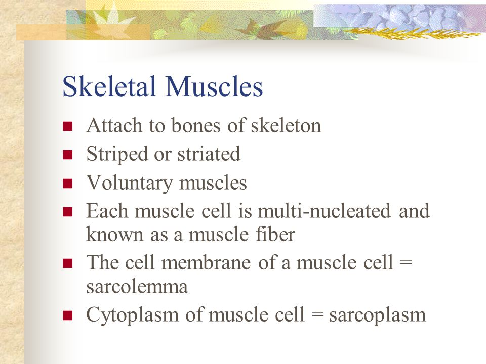 Skeletal Muscles Attach to bones of skeleton Striped or striated