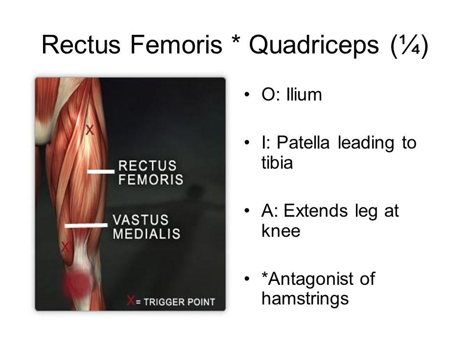 Rectus Femoris * Quadriceps (¼)