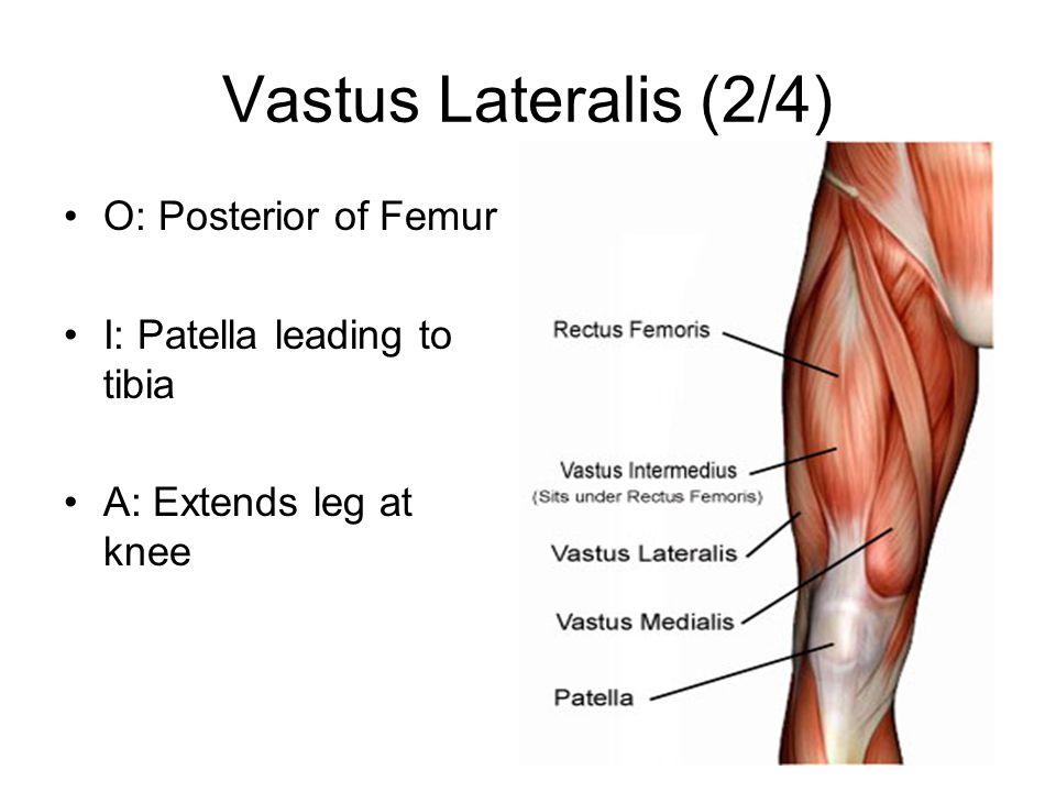Vastus Lateralis (2/4) O: Posterior of Femur