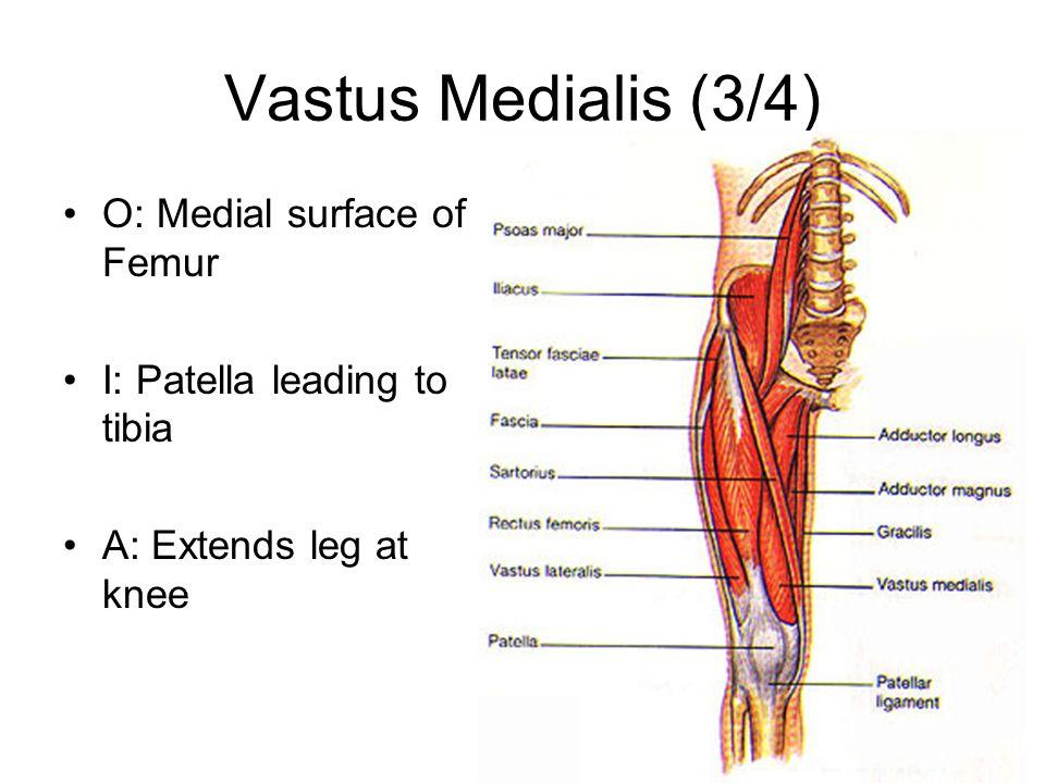 Vastus Medialis (3/4) O: Medial surface of Femur