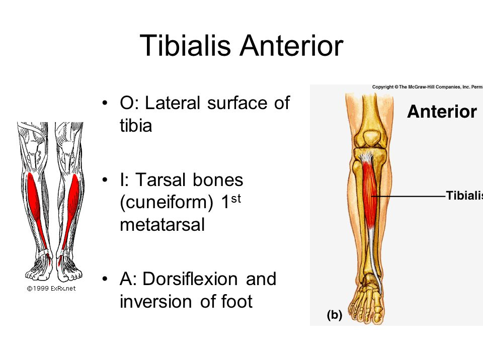 Tibialis Anterior O: Lateral surface of tibia