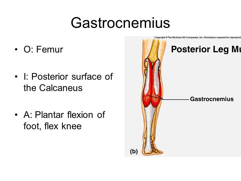 Gastrocnemius O: Femur I: Posterior surface of the Calcaneus