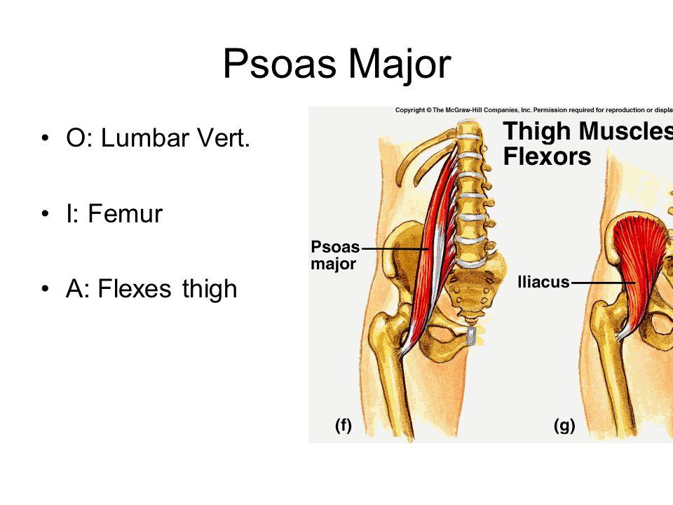Psoas Major O: Lumbar Vert. I: Femur A: Flexes thigh