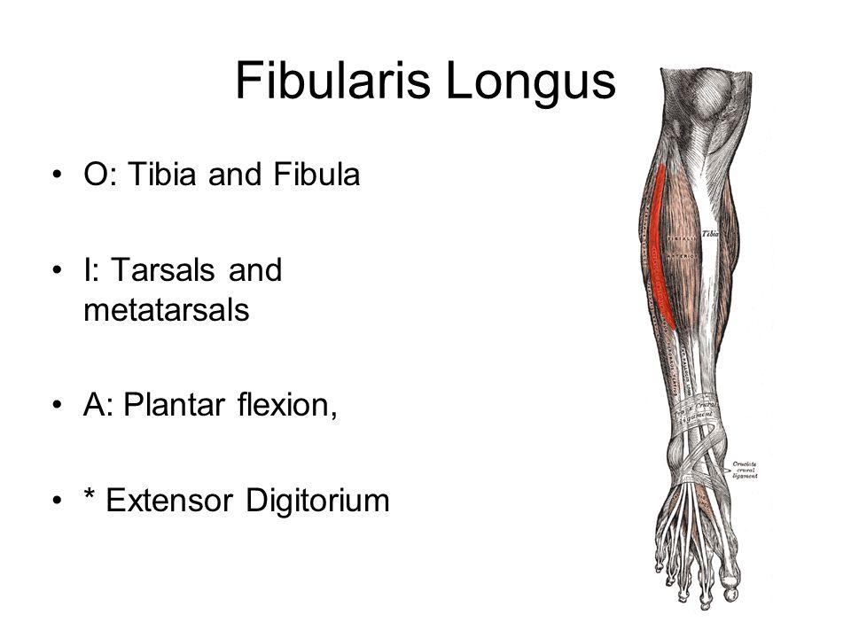 Fibularis Longus O: Tibia and Fibula I: Tarsals and metatarsals