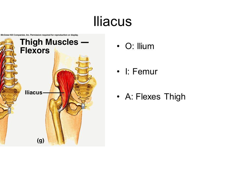 Iliacus O: Ilium I: Femur A: Flexes Thigh