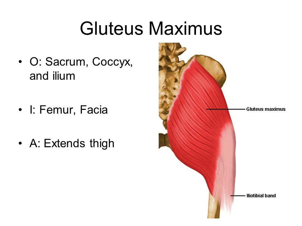 Gluteus Maximus O: Sacrum, Coccyx, and ilium I: Femur, Facia