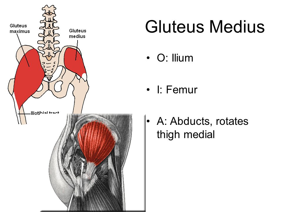 Gluteus Medius O: Ilium I: Femur A: Abducts, rotates thigh medial