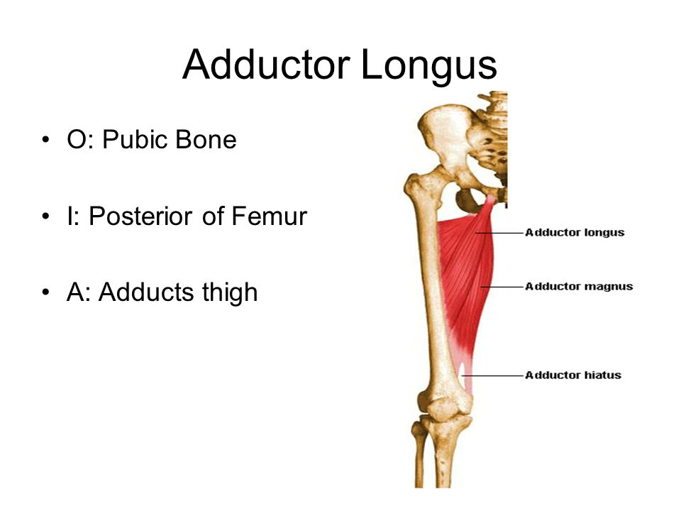 Adductor Longus O: Pubic Bone I: Posterior of Femur A: Adducts thigh