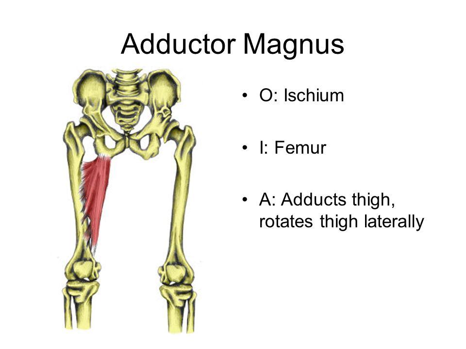 Adductor Magnus O: Ischium I: Femur