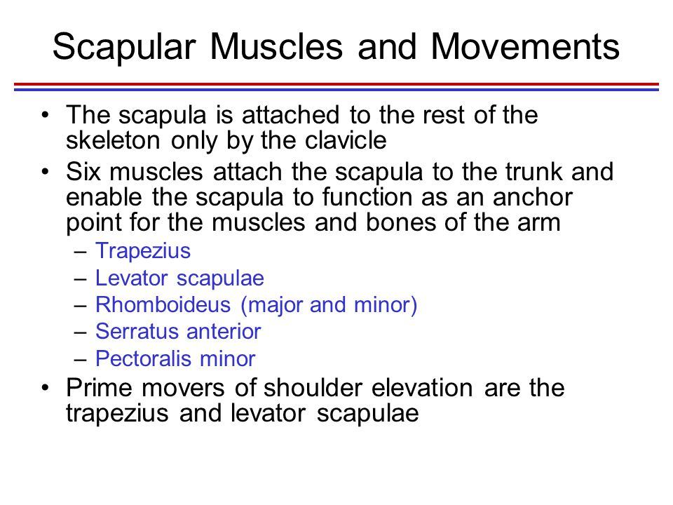 Scapular Muscles and Movements