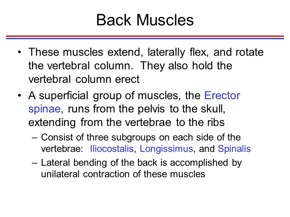 Back Muscles These muscles extend, laterally flex, and rotate the vertebral column. They also hold the vertebral column erect.