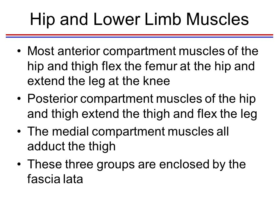 Hip and Lower Limb Muscles