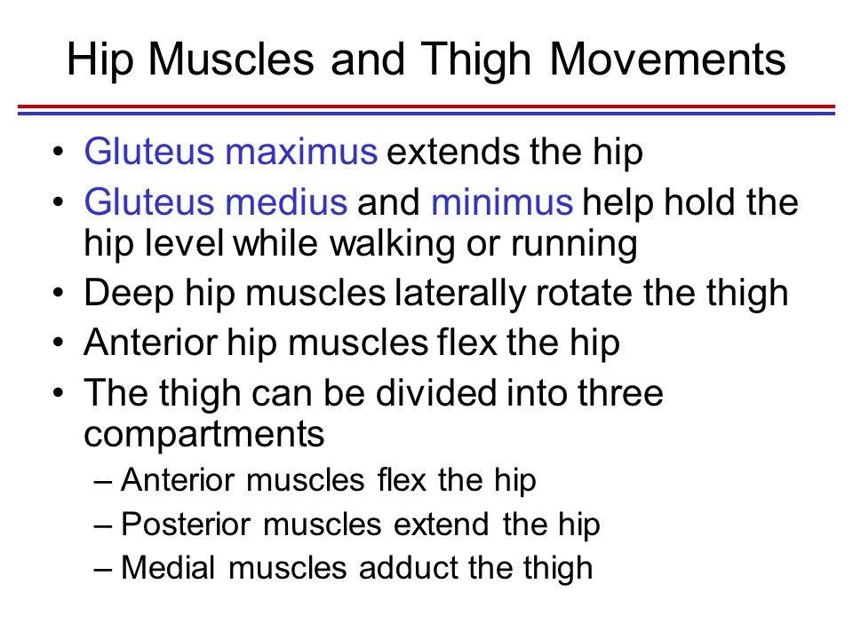 Hip Muscles and Thigh Movements