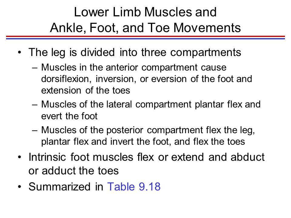 Lower Limb Muscles and Ankle, Foot, and Toe Movements