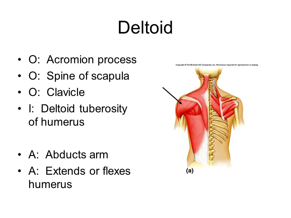 Deltoid O: Acromion process O: Spine of scapula O: Clavicle