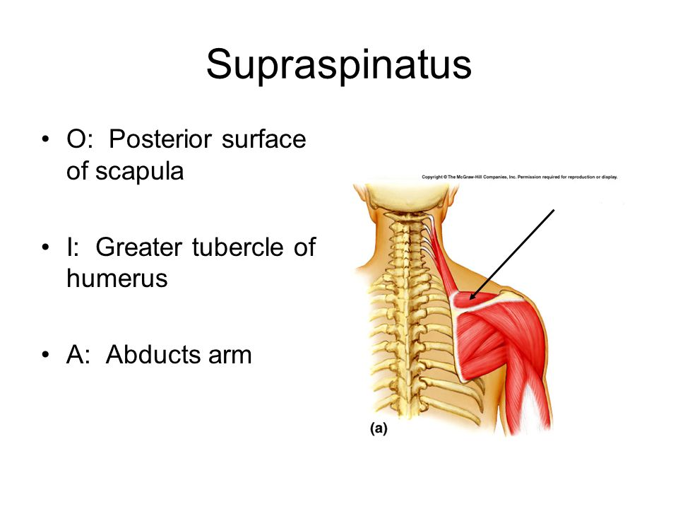 Supraspinatus O: Posterior surface of scapula