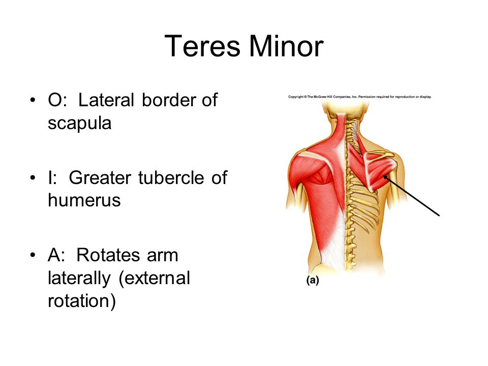Teres Minor O: Lateral border of scapula
