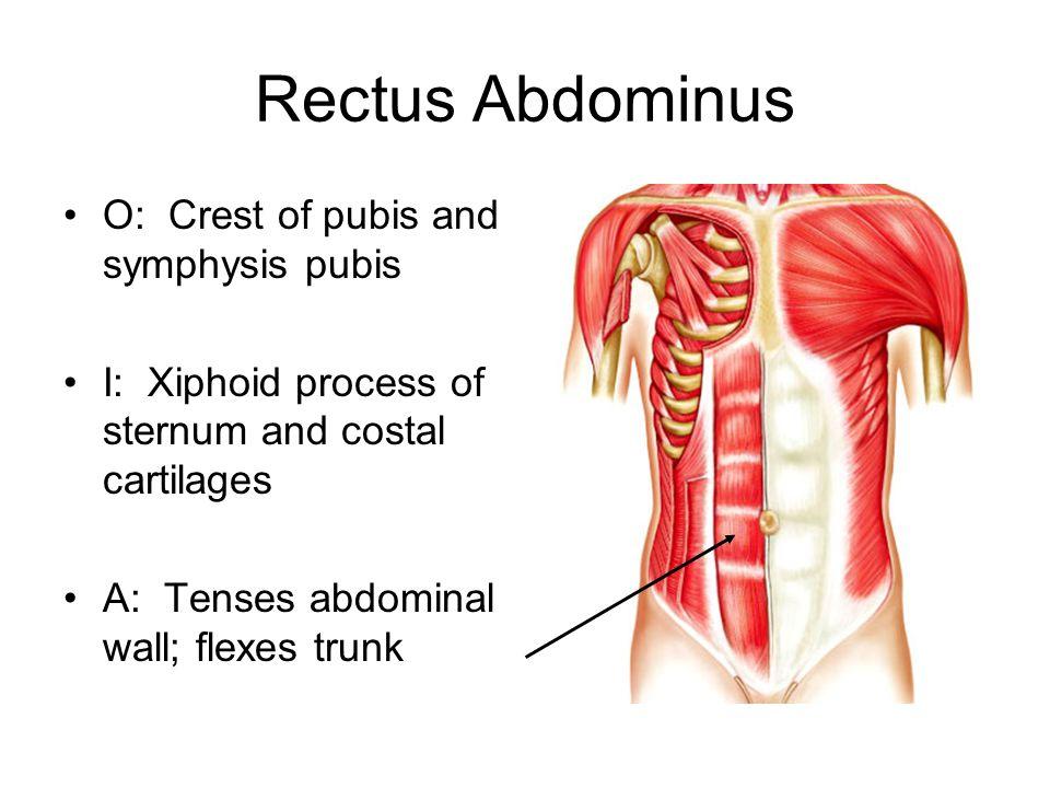 Rectus Abdominus O: Crest of pubis and symphysis pubis